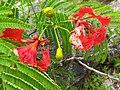 Delonix regia- Flame tree, Peacock Flower, Anasippoomaram, Poomaram 3.jpg