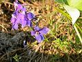 Delphinium bicolor (3434274725).jpg