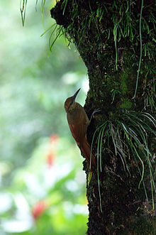 Dendrocolaptes sanctithomae -on tree-1.jpg