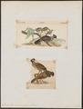 Dendrortyx macrourus - 1700-1880 - Print - Iconographia Zoologica - Special Collections University of Amsterdam - UBA01 IZ17100207.tif