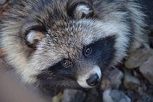 Raccoon dog - Wikipedia