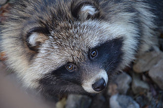 Raccoon dog - Close-up of head