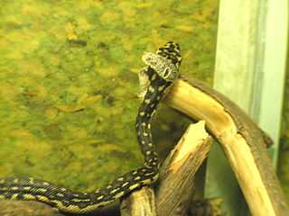 Diamond Python shedding