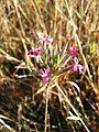 Dianthus armeria (subsp. armeria) sl9.jpg
