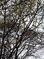 Dillenia pentagyna flowering by Dr. Raju Kasambe DSCN1362 (14).jpg