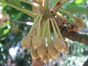 Diploknema butyracea - Floral buds of Diploknema butyracea