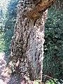 Domaine du Rayol - Quercus suber (bark 1).jpg