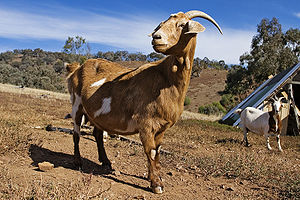 Domestic goat May 2006.jpg