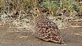 Doube-banded Sandgrouse Female (Pterocles bicinctus) (6029832404).jpg