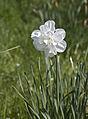 Double daffodil (5689702450).jpg
