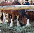 Draft Horse at Riverdale Farm - panoramio.jpg
