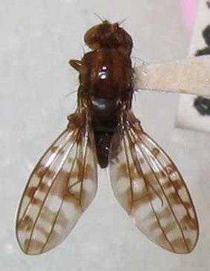 Drosophila - D. setosimentum, a species of Hawaiian picture-wing fly