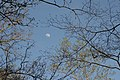 Duke Forest moon thru spring branch tips.jpg