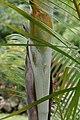 Dypsis lutescens 31zz.jpg