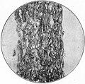 EB1911 - Fibres - Fig. 12.jpg