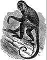 EB1911 Primates - Geoffroy's Spider-Monkey.jpg