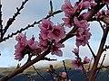 ES7020087 Almendros en flor Buenavista, Breña Alta. La Palma, Islas Canarias.jpg