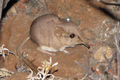 Ear-tagged and radio-collared Macroscelides micus.png