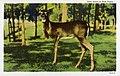 East Texas - Deer Scene (NBY 430352).jpg