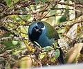 Eastern Crested Berrypecker. (Paramythia montium) (4)b (48616099093).jpg