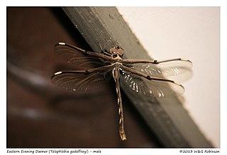 <i>Telephlebia godeffroyi</i> Species of dragonfly