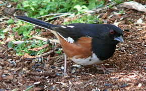 Description de l'image Eastern Towhee-27527-3.jpg.