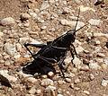 Eastern lubber grasshopper.jpg