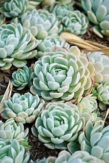 <i>Echeveria</i> genus of plants