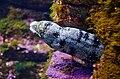 Echidna nebulosa in UShaka Sea World 0885.jpg