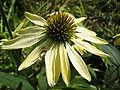 Echinacea sunrise-flower PNr°0211.JPG