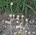 Echinaria capitata - Jardin des Plantes.jpg