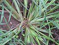 Echinochloa crus-galli 2006.08.27 15.00.13-p8270053.jpg