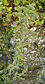 Echium vulgare auf Brachfläche.jpg