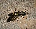 Ectemnius species with prey ( Eupeodes species) (49345654692).jpg