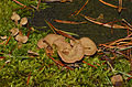 Eichen-Zwergknäueling - Herber Zwergknäueling - Bitterer Muschelseitling - bitter oyster - Panellus stipticus - 02.jpg