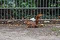 Eichhörnchen (Sciurus vulgaris) Konstantinhügel Wiener Prater 2020-07-12 c.jpg