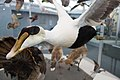 Eider duck (41624618510).jpg