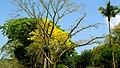 El Salvador - Corinto Golf Club, Cortez Blanco Tree - panoramio.jpg