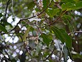 Elaeocarpus oblongus (16711473654).jpg