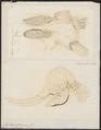 Elephas africanus - 1700-1880 - Print - Iconographia Zoologica - Special Collections University of Amsterdam - UBA01 IZ22000097.tif