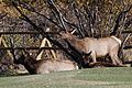 Elk at Estes Park Golf Course (6252057673).jpg