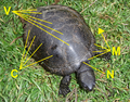 Emys orbicularis 2009 G1 scutes tagged.png