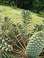 Encephalartos arenarius KirstenboshBotGard09292010C.JPG