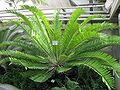 Encephalartos hildebrandtii A. Braun et Bouché (2).JPG