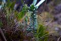 Endemic Vegetation in Mt. Roraima.jpg