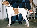English Pointer orange-white.jpg