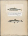 Engraulis encrasicholus - 1700-1880 - Print - Iconographia Zoologica - Special Collections University of Amsterdam - UBA01 IZ15100001.tif