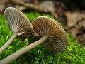 Entoloma subserrulatum (Peck) Hesler 440219.jpg