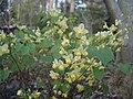 Epimedium flowers cv1 -002.JPG