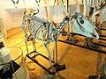 Equus burchelli - Kunming Natural History Museum of Zoology - DSC02371.JPG